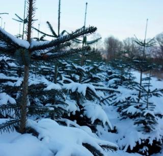 Rosendal Ålsgårde juletræer engros